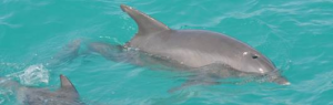 Delfin im Türkis