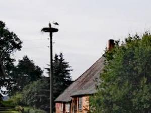 Storche im Nest